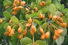 Guaiacum-fruit