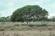 Guaiacum-tree