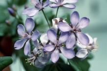 Guaiacum-flower