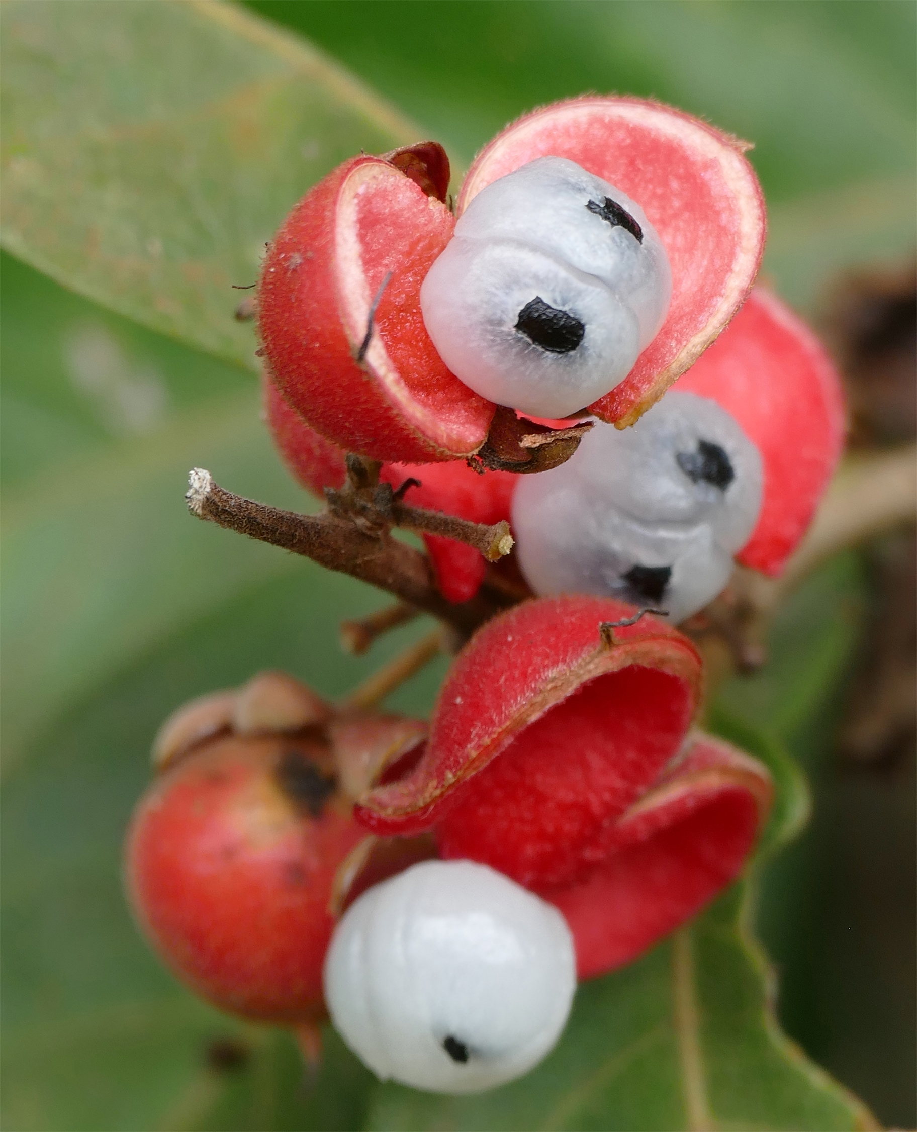 Opened-fruits