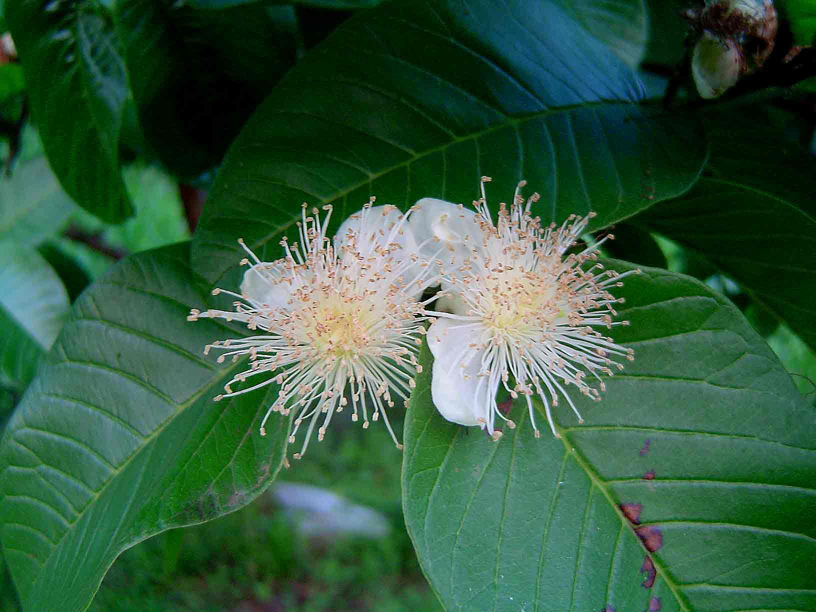 Guava-flowers
