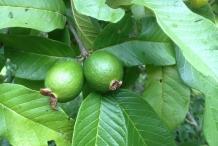 Guava-fruit-unripe