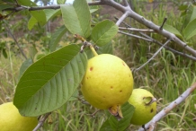 Guava-fruit-ripe
