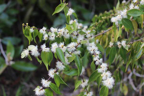 Flowers-of-Guavaberry