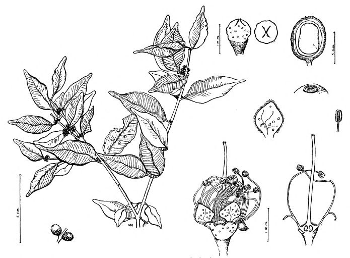 Plant-Illustration-of-Guavaberry