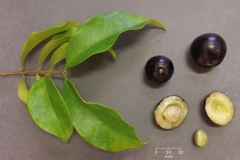 Image-showing-leaves-fruits-and-seeds-of-Guavaberry