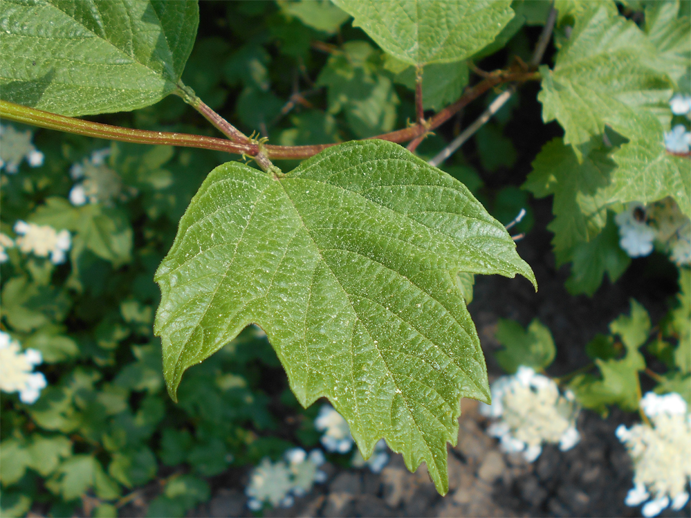Guelder-Rose-leaf