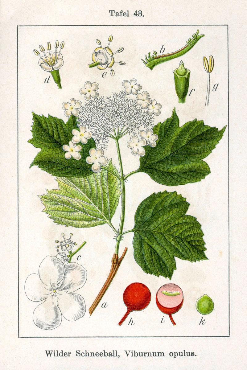 Plant-illustration-of-Guelder-Rose