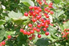 Guelder-Rose-fruits