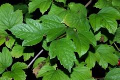 Guelder-Rose-leaves