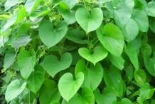 Gulancha-tinospara-growing-wild