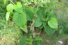 Gulancha-tinospara-plant