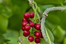 Mature-fruits-of-Gulancha-tinospara