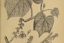 Plant-Illustration-of-Gulancha-tinospara