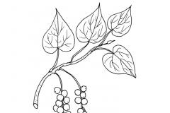 Sketch-of-Gulancha-tinospara-plant