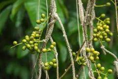 Unripe-fruits-of-Gulancha-tinospara-on-the-plant