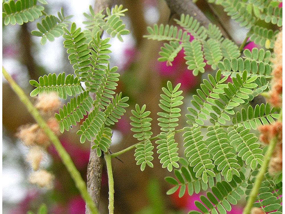 Leaves-of-Gum-Arabic