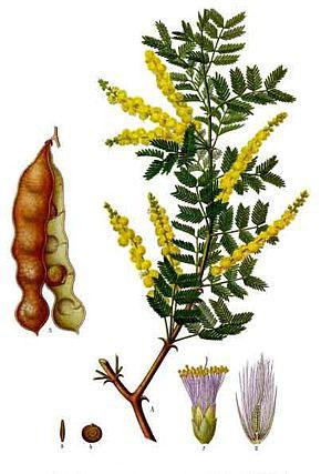 Plant-illustration-of-Gum-Arabic
