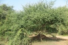 Gum-Arabic-Tree