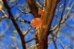 Gum-Arabic-on-the-tree