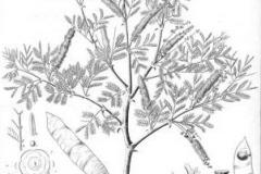 Sketch-of-Gum-Arabic