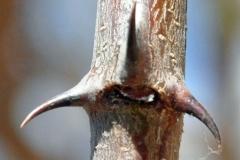 Thorns-of-Gum-Arabic