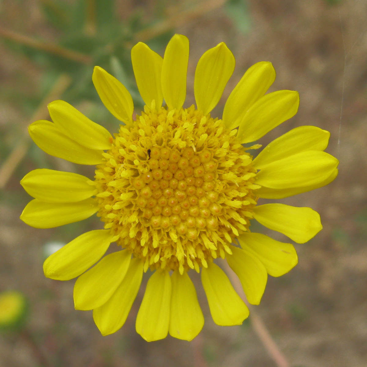 Closer-view-of-Flower-of-Gumplant