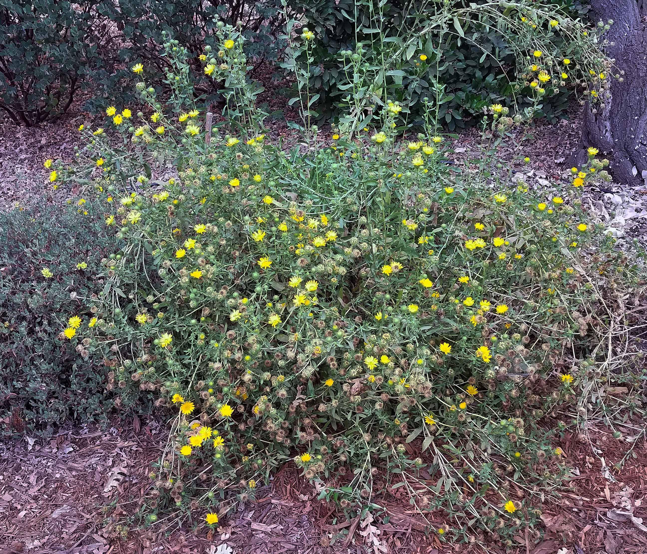 Gumplant-growing-wild