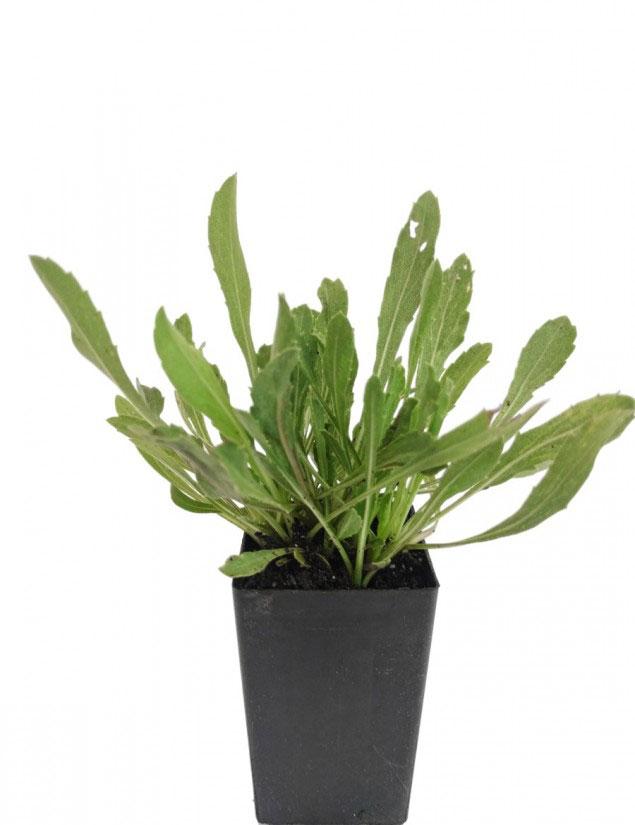 Gumplant-grown-on-the-pot