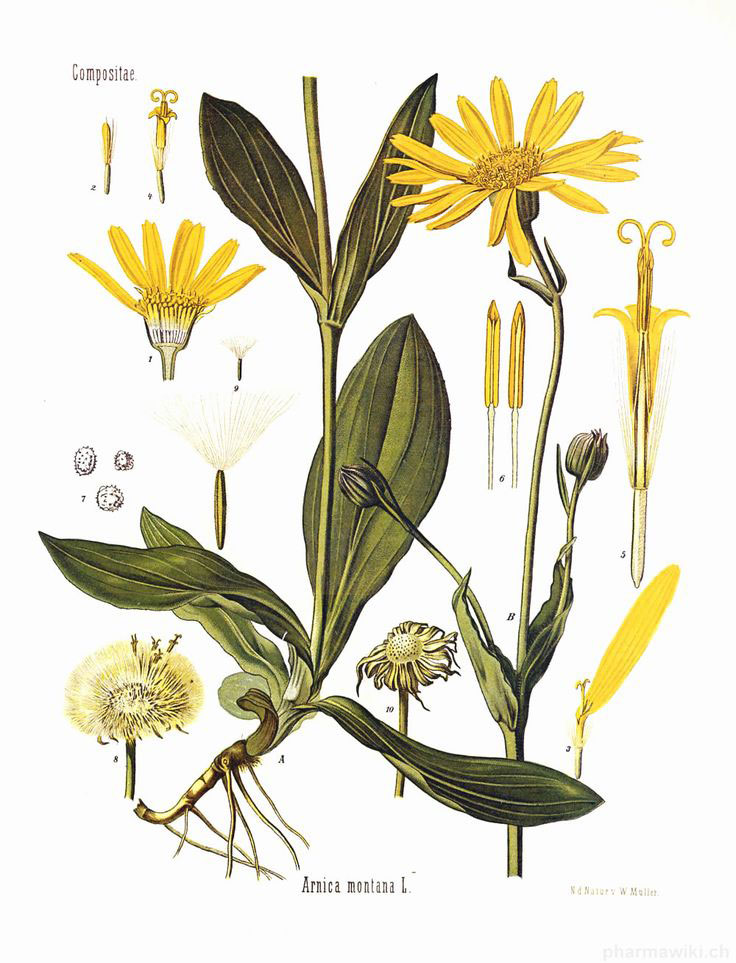 Plant-Illustration-of-Gumplant