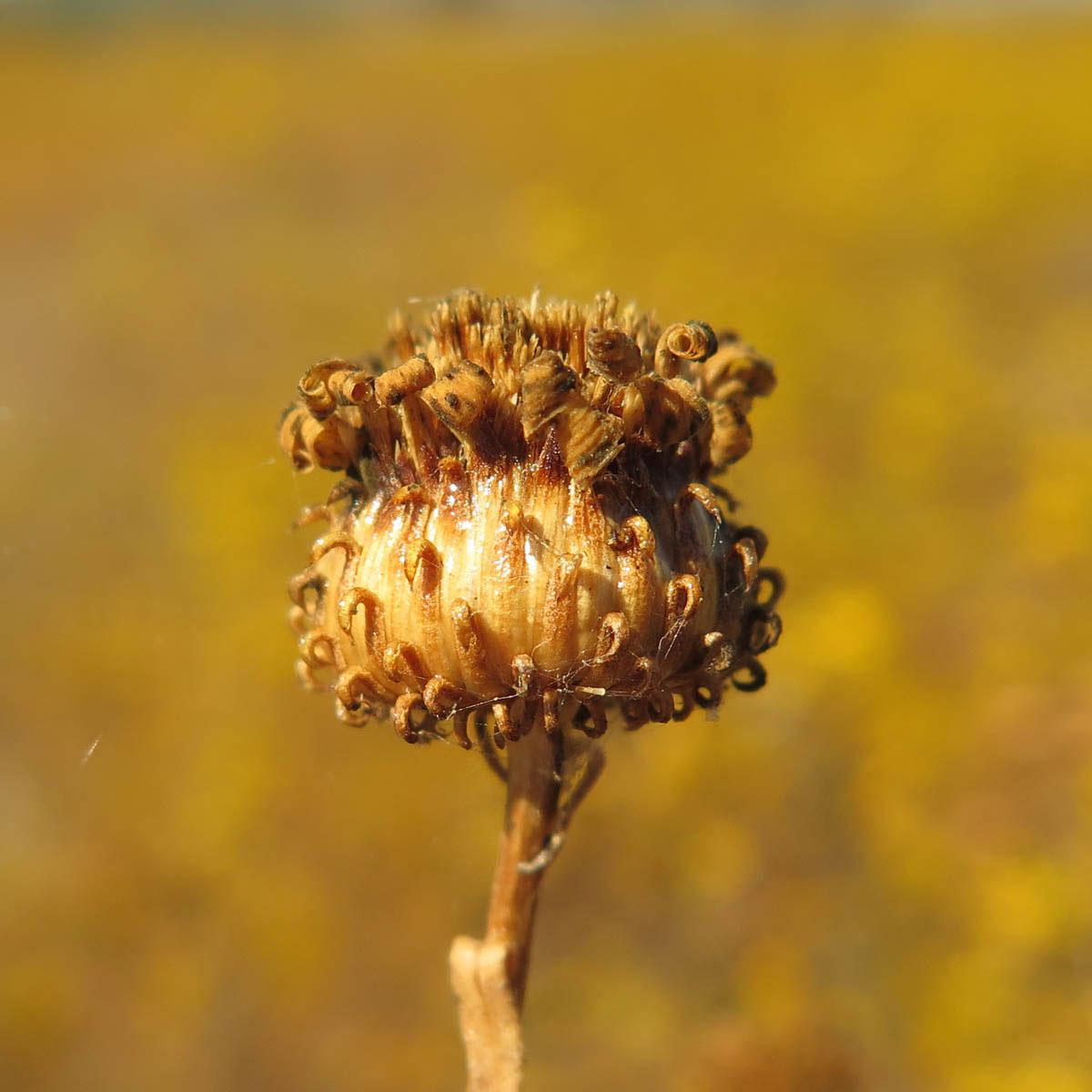 Seed-head-of-Gumplant