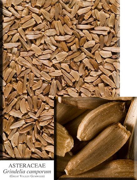 Seeds-of-Gumplant