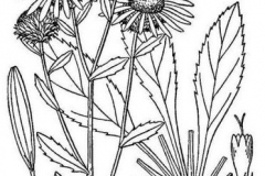Sketch-of-Gumplant