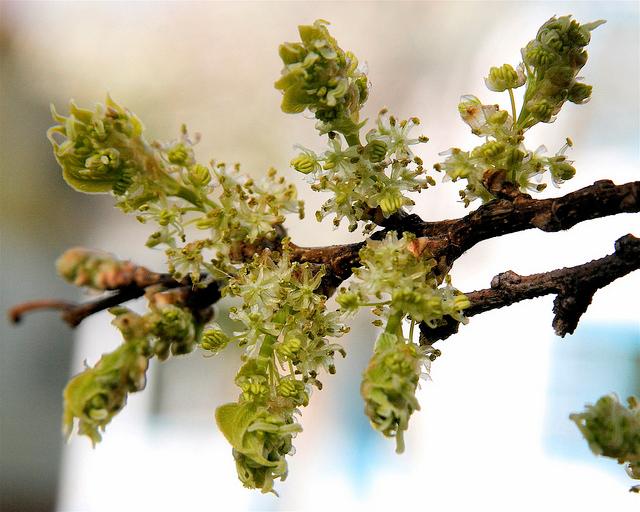 Hackberry-flower