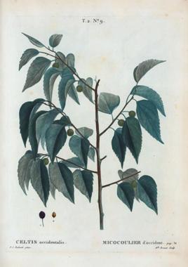 Illustration-of-Hackberry-plant