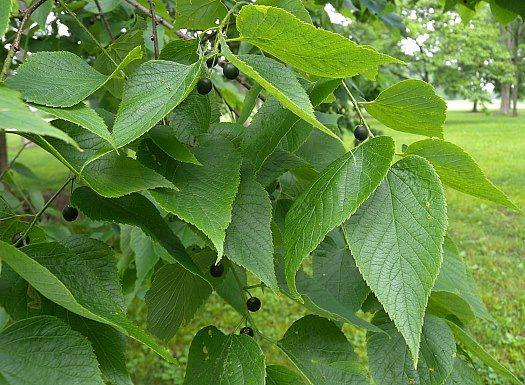 Leaves-of-Hackberry