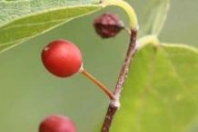Ripened-Hackberry