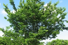 Hackberry-tree