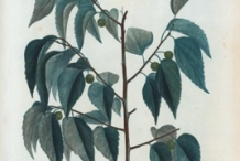 Illustration-of-Hackberry-plant