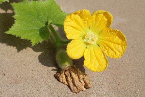 Hairy-cucumber-flower
