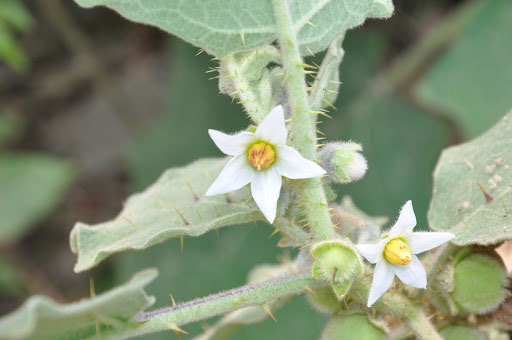 Flowers-of-Hairy-Eggplant