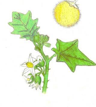 Plant-Illustration-of-Hairy-Eggplant