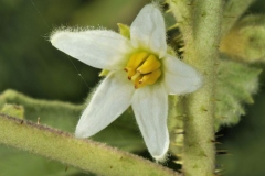 Closer-view-of-flower-of-Hairy-Eggplant