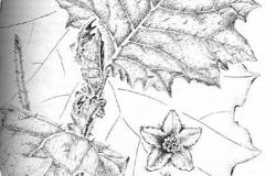 Sketch-of-Hairy-Eggplant