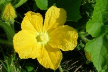 Close-up-flower-of-Hairy-gourd