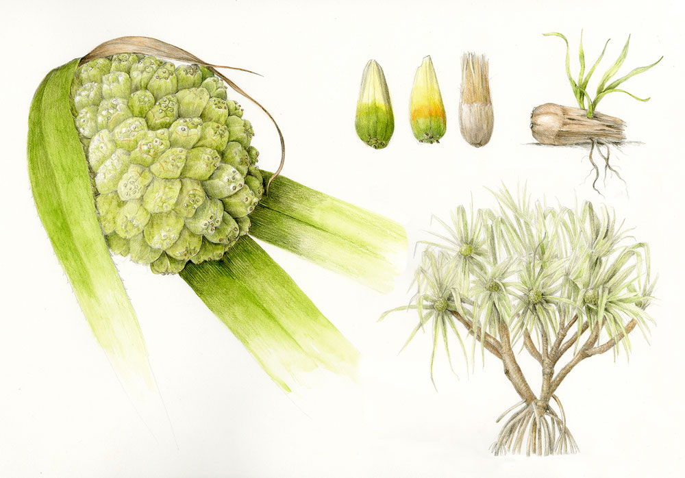 Plant-Illustrations-of-Hala-fruit