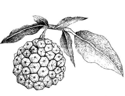 Sketch-of-Hala-fruit