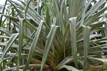 Leaves-of-Hala-fruit