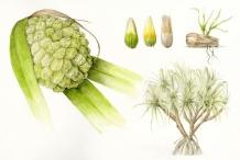 Plant-Illustrations-of-Hala-fruit