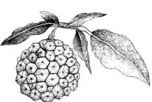Sketch-of-Hala-fruit